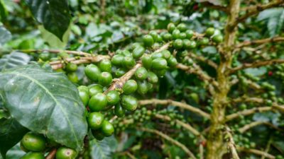 Makroaufnahme einer Kaffeepflanze in Kolumbien